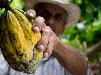 Man picking cocoa fruit