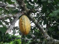 Cocoa Futures Update